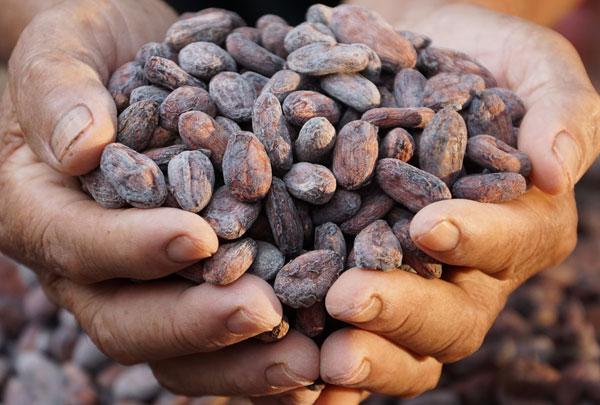 Hạt ca cao tạo nên sô cô la