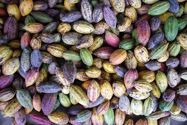 Cacao sẽ được Alluvia thu hoạch cẩn thận và tuyển chọn kỹ lưỡng nhằm đem đến cho khách hàng thành phẩm chất lượng nhất