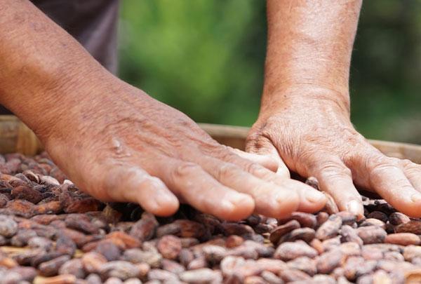 Bean to bar chocolate có nhiều bước thực hiện trước khi cho ra đời thành phẩm